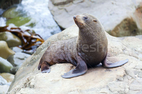 Sea Lion Stock photo © alexeys