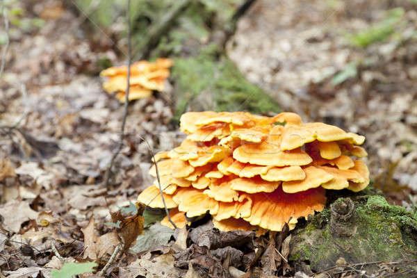 Zdjęcia stock: Drewna · grzyby · jasne · żółty · grzyb · rozwój