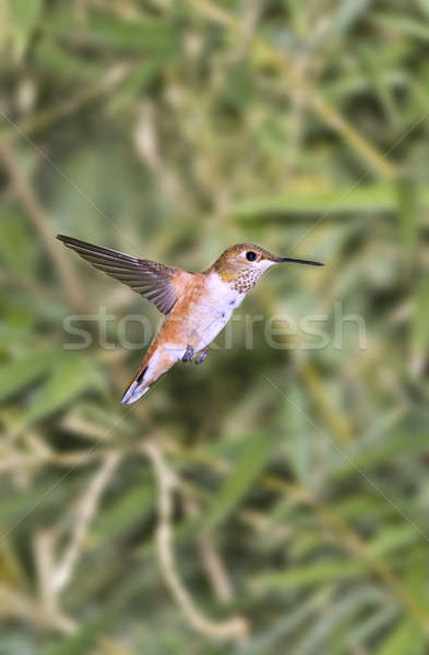 Humming bird Stock photo © alexeys