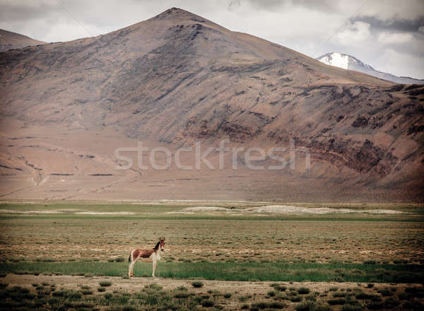 Sauvage ass plateau ciel montagnes Asie Photo stock © alexeys