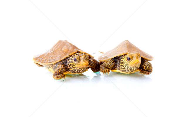 Baby turtles Stock photo © alexeys