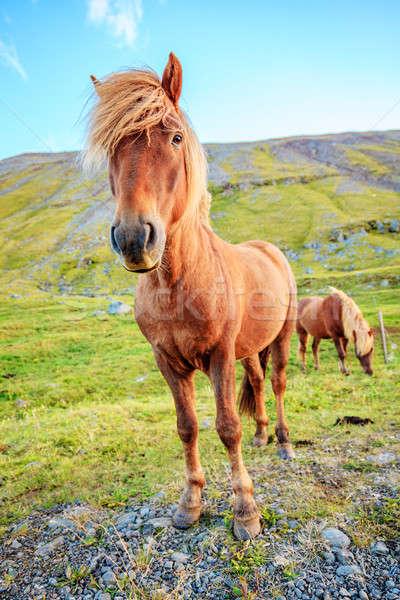 Midilli çiftlik İzlanda gökyüzü çim doğa Stok fotoğraf © alexeys