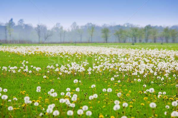 Dandelion campo cênico imagem coberto leão Foto stock © alexeys