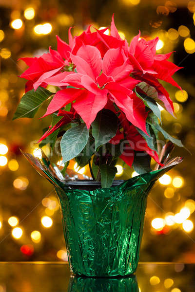 Poinsettia Stock photo © alexeys
