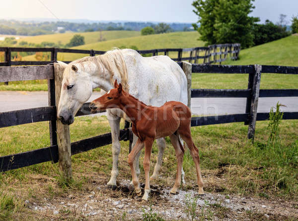 Stock photo: White horse and her colt