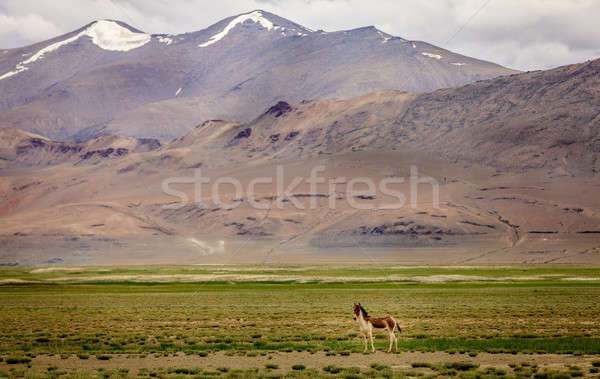 Tibetan Wild Ass Stock photo © alexeys