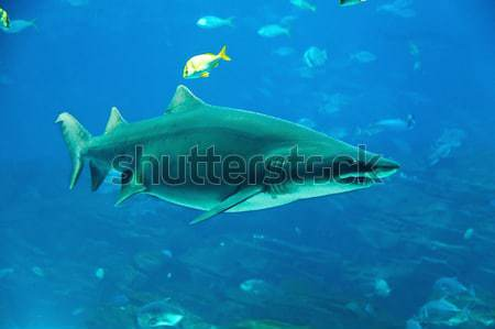 Tiger shark Stock photo © alexeys