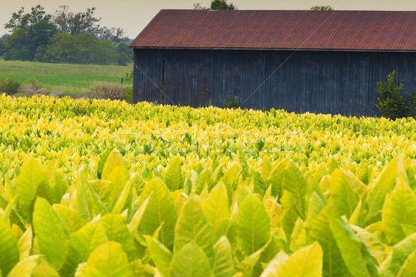 Tabacco farm campo impianti Kentucky panorama Foto d'archivio © alexeys