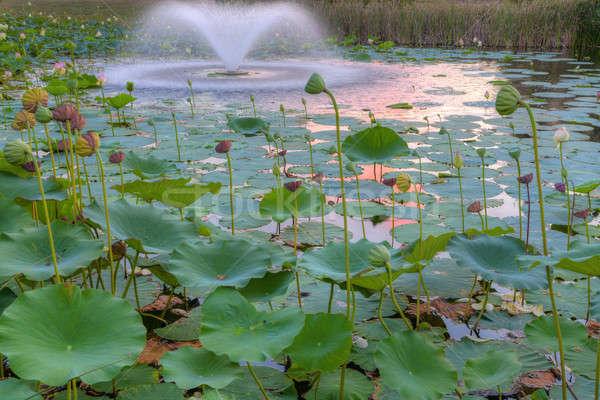 Lily Pond Stock photo © alexeys