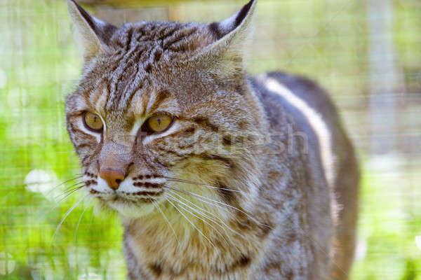 Bobcat Stock photo © alexeys