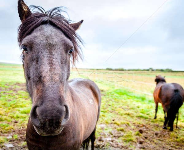 ファーム アイスランド 馬 肖像 農業 屋外 ストックフォト © alexeys