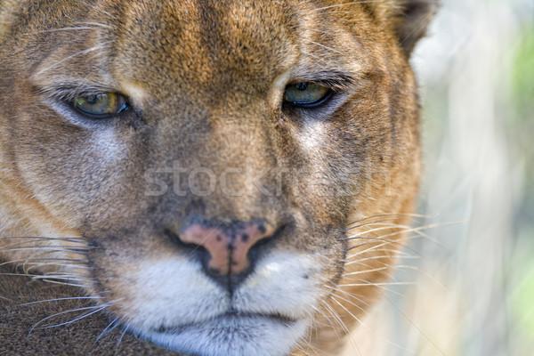 Puma portre kedi kurtarmak Indiana Stok fotoğraf © alexeys