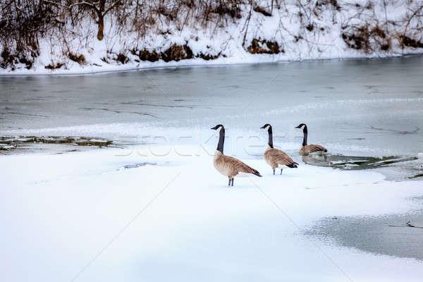 Ganzen meer centraal Kentucky winter water Stockfoto © alexeys