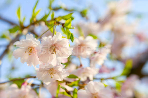Cherry blossoms Stock photo © alexeys