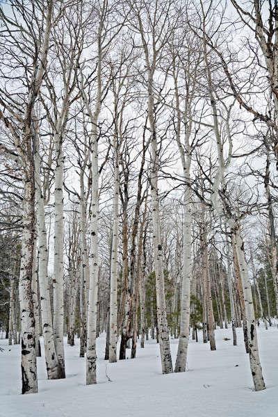 Aspen trees Stock photo © alexeys
