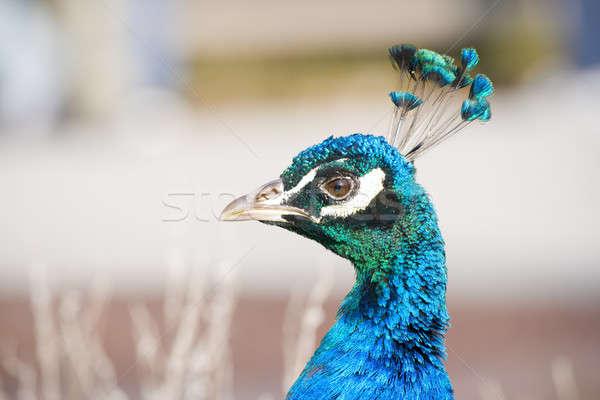Paon vue oeil oiseau bleu Photo stock © alexeys
