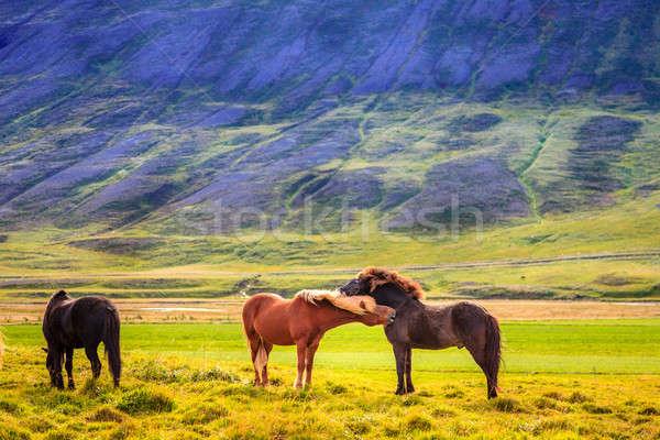 グループ アイスランド 自然 馬 フィールド ストックフォト © alexeys