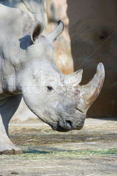 Stock fotó: Orrszarvú · fehér · orrszarvú · veszélyeztetett · afrikai · portré