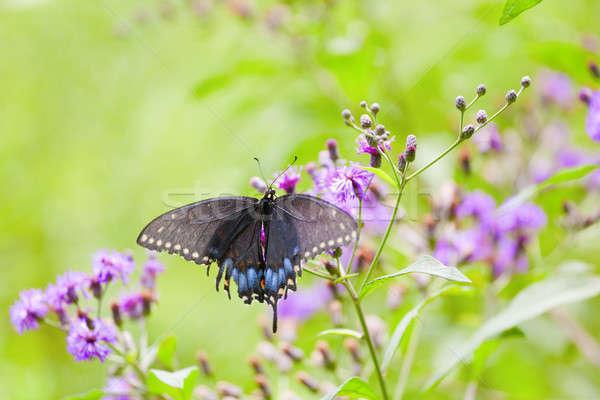 Black Swallowtail Butterfly Stock photo © alexeys