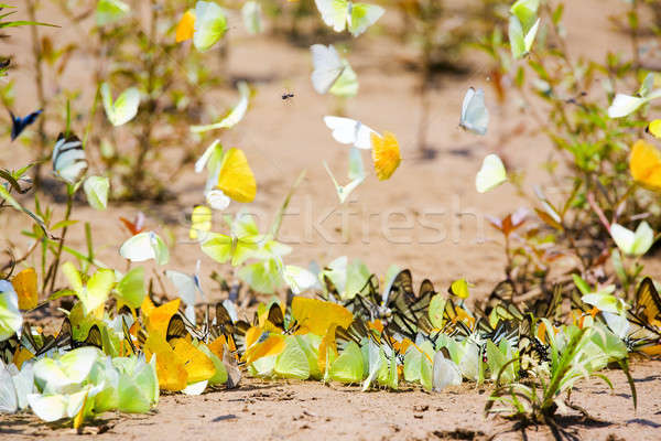 Butterflies Stock photo © alexeys
