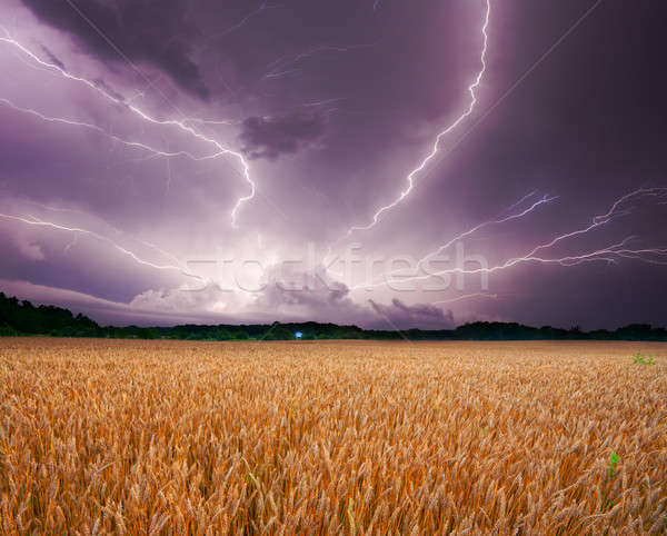 Storm over wheat Stock photo © alexeys