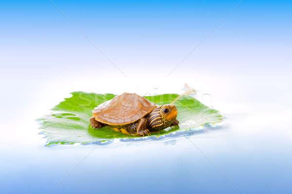 Baby turtle on a leaf Stock photo © alexeys