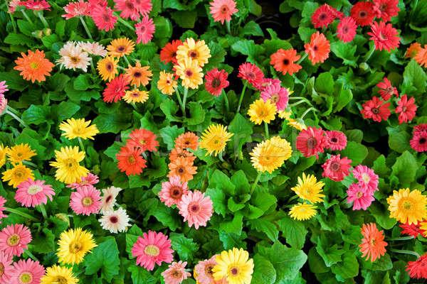 Canteiro de flores belo margarida flores folhas Foto stock © alexeys