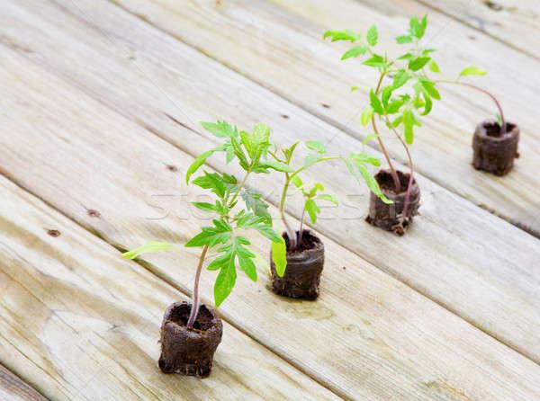 Tomato plants Stock photo © alexeys