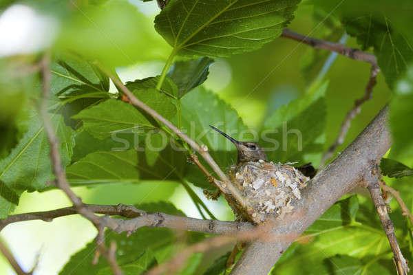 Hummingbird гнезда мнение сидят птица Сток-фото © alexeys