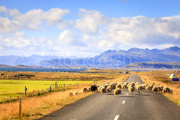 Sheep on the road in Iceland Stock photo © alexeys