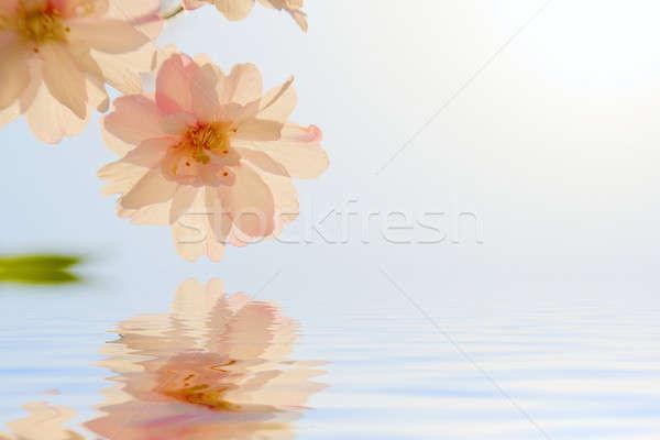 Cherry blossom Stock photo © alexeys