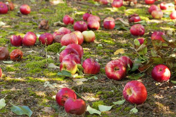 Pommes sol verger de pommiers Kentucky fruits jardin Photo stock © alexeys