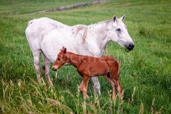 Stock photo: Mare and colt