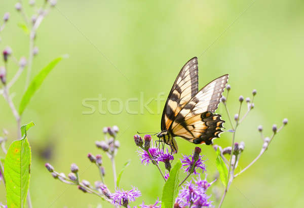 Tiger Swallowtail Butterfly Stock photo © alexeys