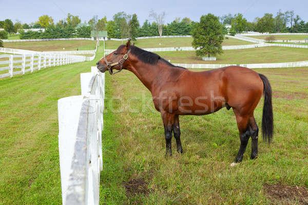 ストックフォト: 馬 · ファーム · 画像 · 美しい · ブラウン · 立って