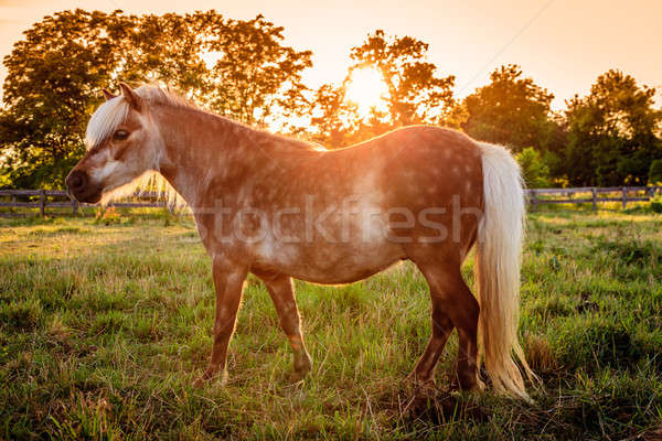 Shetland Pony Stock photo © alexeys