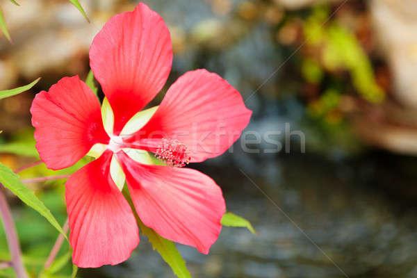 Scarlet Rose Mallow Stock photo © alexeys