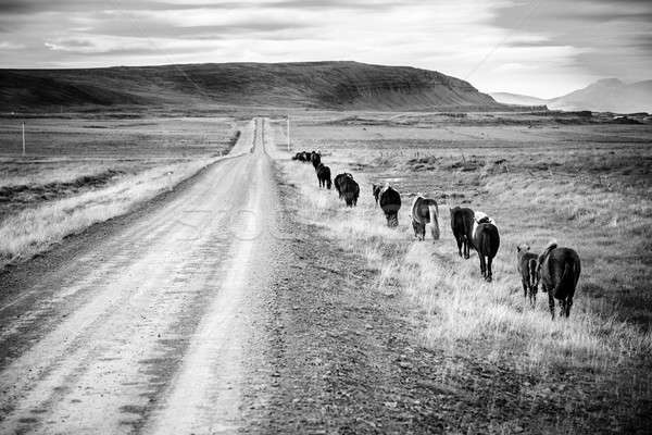 Nyáj mozog kavicsút Izland vidék égbolt Stock fotó © alexeys