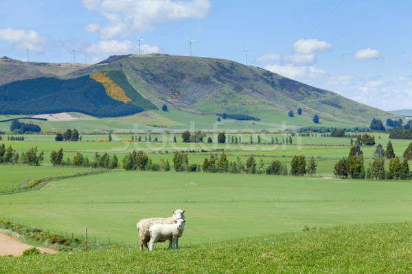 Sheep Grazing Stock photo © alexeys