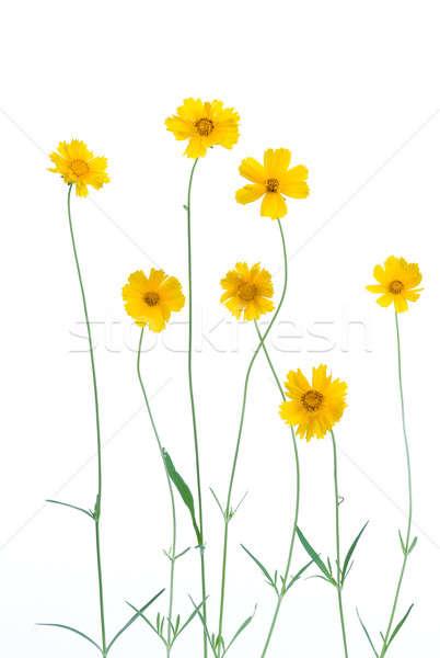 Amarelo margaridas isolado branco natureza folhas Foto stock © alexeys