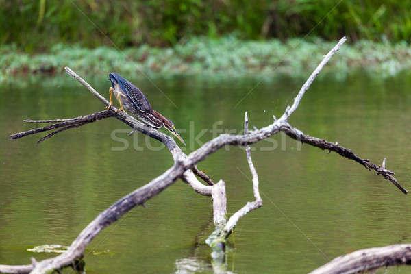 Yeşil balıkçıl avcılık pozisyon küçük göl Stok fotoğraf © alexeys