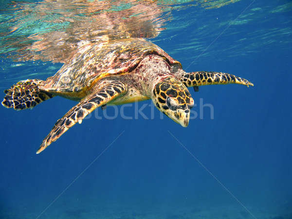 Mer tortue surface de l'eau Seychelles natation subaquatique Photo stock © alexeys
