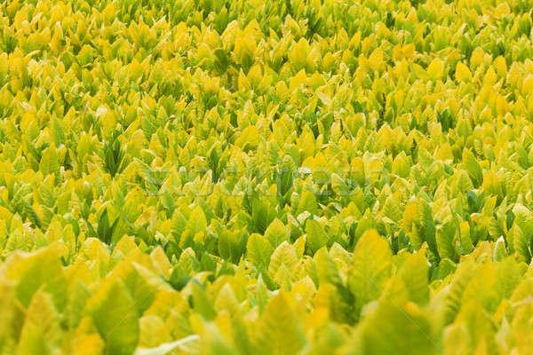 Tabaco plantas campo granja Kentucky naturaleza Foto stock © alexeys