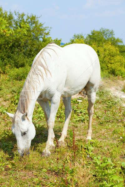 White Horse Grazing Stock photo © alexeys