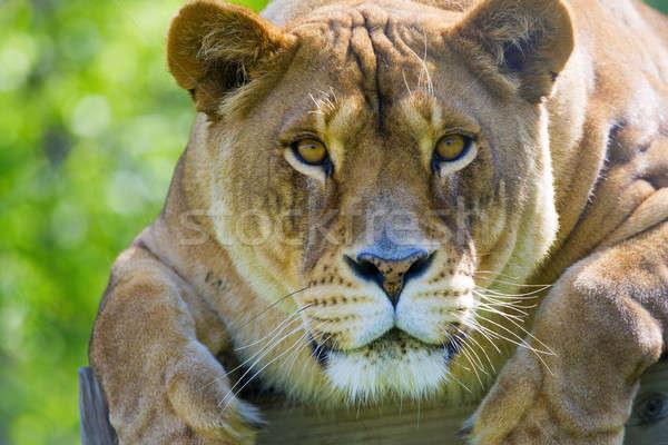 Crouching lion Stock photo © alexeys