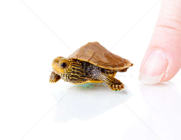 Baby turtle Stock photo © alexeys