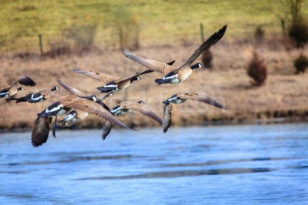 Kaz uçan göl merkezi Kentucky mavi Stok fotoğraf © alexeys