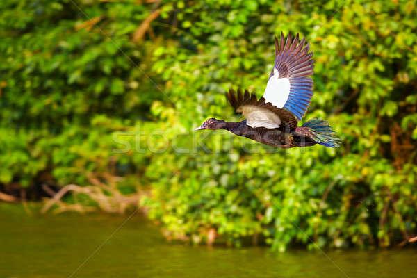 Muscovy duck Stock photo © alexeys