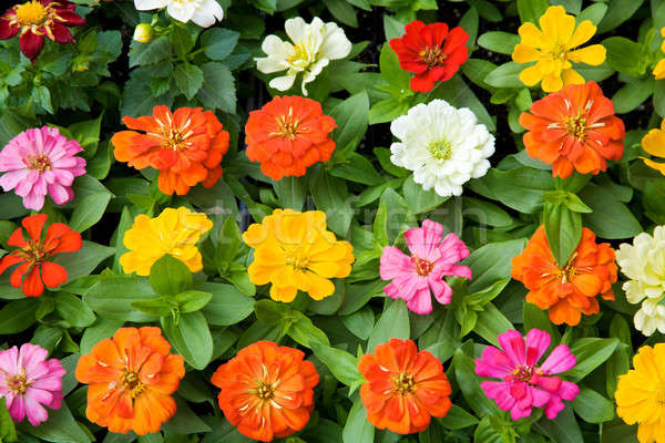 Virágágy gyönyörű tarka virágok levelek piros Stock fotó © alexeys