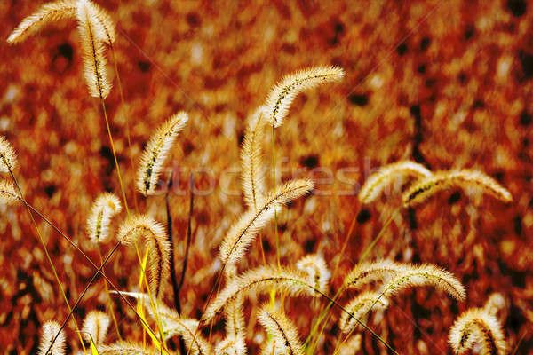 Dry grass Stock photo © alexeys